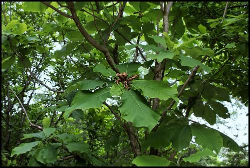 Magnolia macrophylla (4)