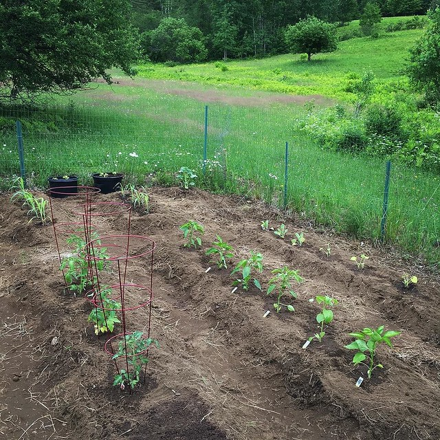 Vegetables planted. Corn, tomatoes, peppers, yellow squash, cucumbers, Brussels sprouts, birdhouse gourd. I'm going to smooth out the other bed for lettuce and radish seeds.