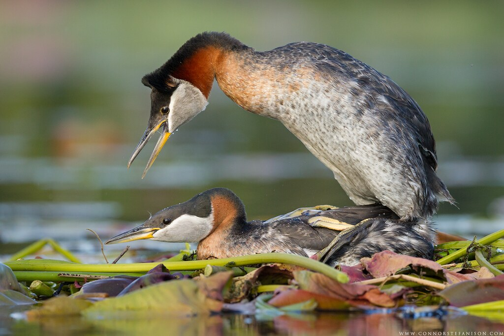 Mating Red-necked Grebes