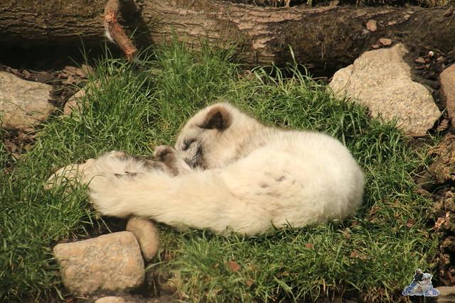 Eisbär Lili im Zoo am Meer 15.05.2016  1