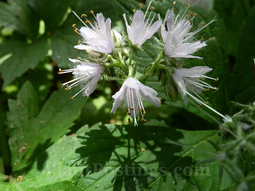 virginia waterleaf flower