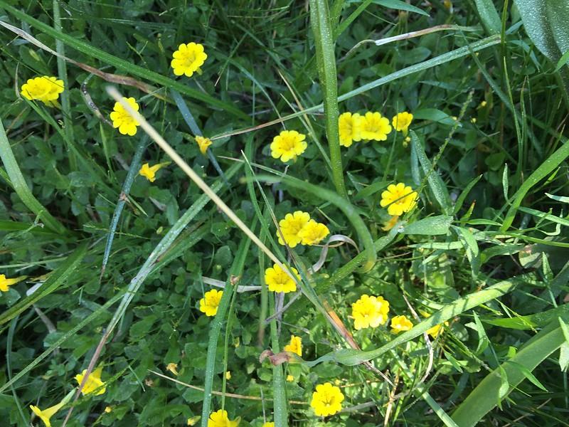 Primrose Monkey Flower