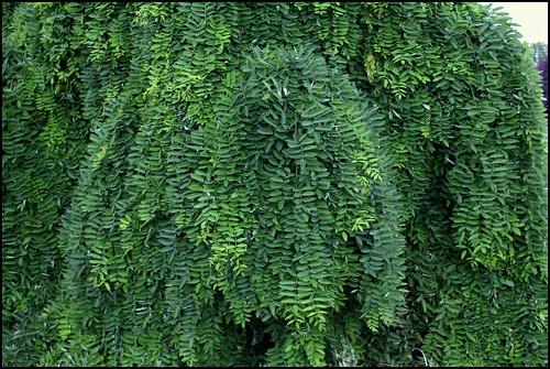 Sophora japonica 'Pendula' (4)