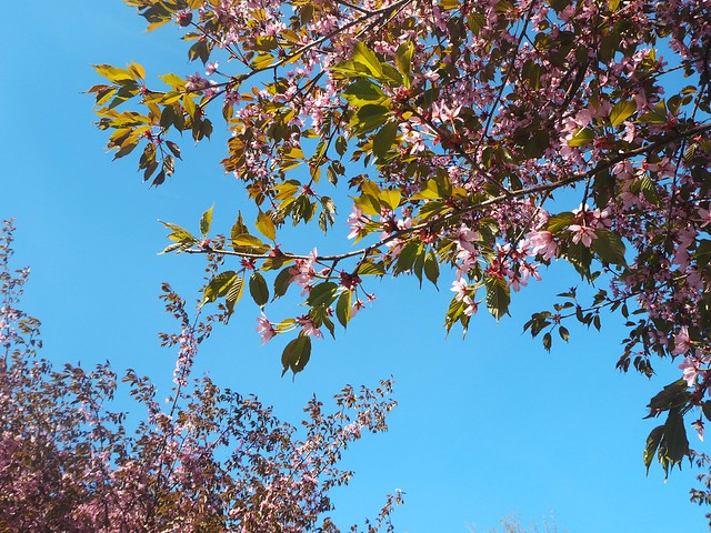 cherryblossomP5125054,japanesestylegardenP5124841,cherryblossomP5124847, cherry blossom, kirsikkapuu, kirsikan kukka, helsinki, roihuvuori, finland, suomi, hanami, helsinki tips, cherry park, japanese style garden, cherry tree park, cherry park, cherry trees, kirsikankukka puu, blooming, kukkia, vaaleanpunainen, pinkki, kukka, flower, cherry blossom helsinki, blue sky, sininen taivas, may, toukokuu, kesä, summer, kevät, spring, suomi, cherry woods, kirisikkapuisto, roihuvuori, japanilaistyylinen puutarha,