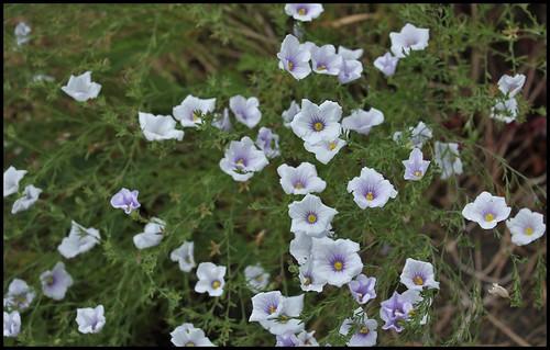 Nierembergia frutescens (2)