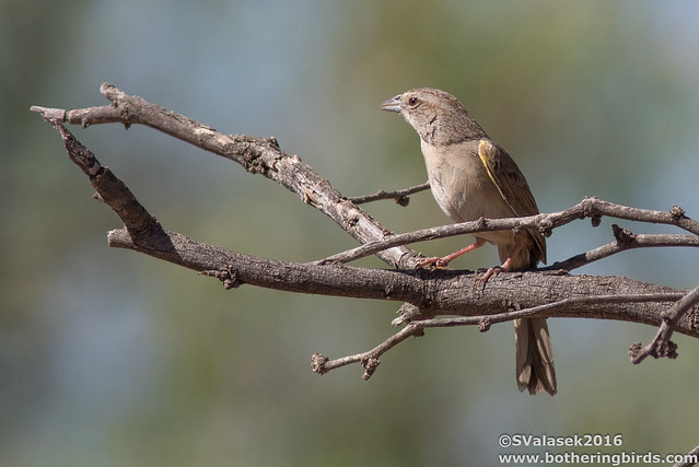 Bonetti's Sparrow