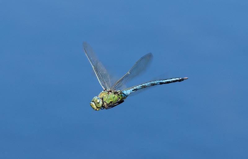 Emperor Dragonfly 045 (4246)