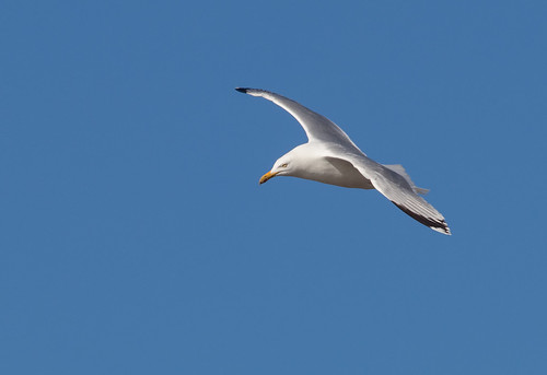 herring gull 045 (3058)