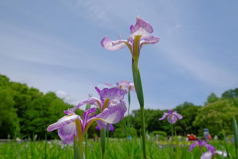Iris 花菖蒲