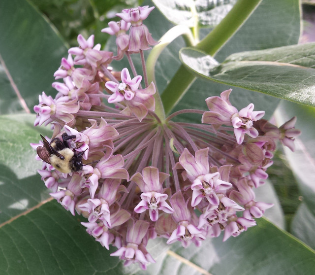 bumblebee on the left side of a milkweed blossom