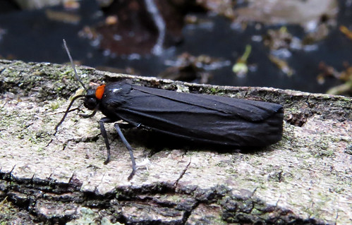 Red-necked Footman Atolmis rubricollis Tophill Low NR, East Yorkshire June 2016