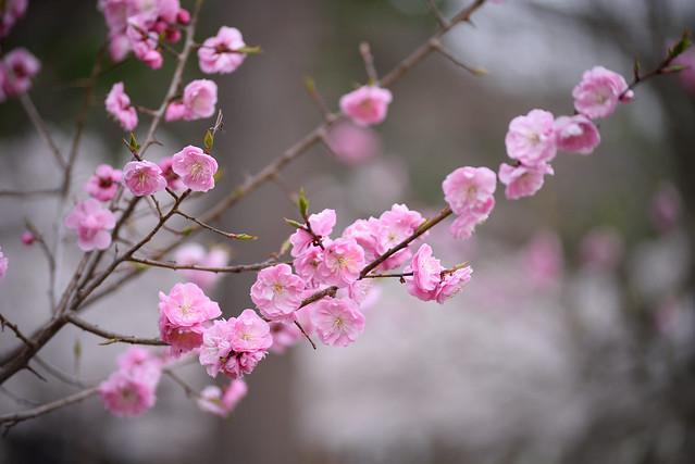 ume blossoms 2