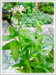 White flowers of Ocimum basilicum (Thai Basil, Anise Basil, Licorice/Cinnamon Basil), 2 Aug. 2013