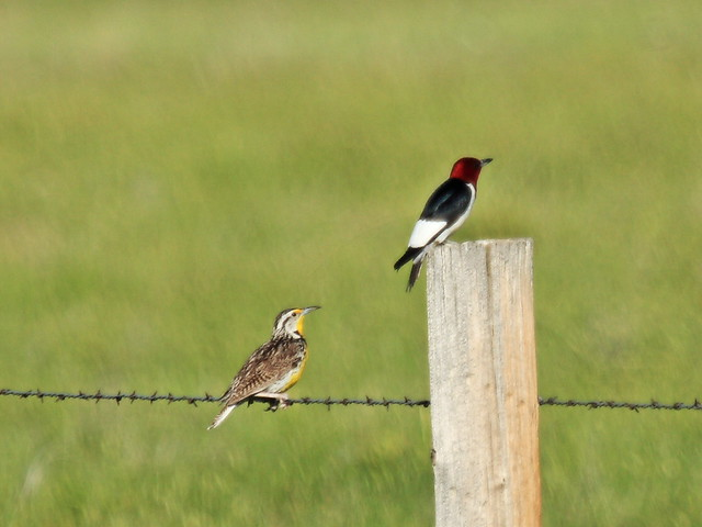 Unlikely couple on prairie 20160618
