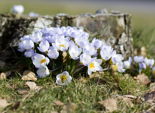 Spring Crocuses | by Steffe