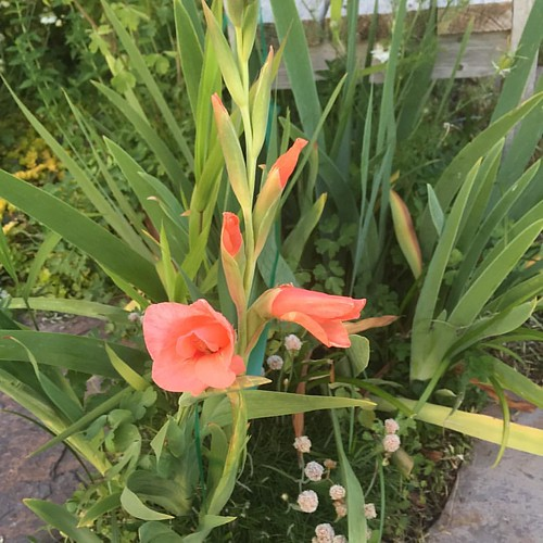 Another survivor from the previous owner. She must have liked salmon orange. #gladiolus #gladiola