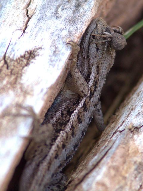Spider on lizard's head 20131102