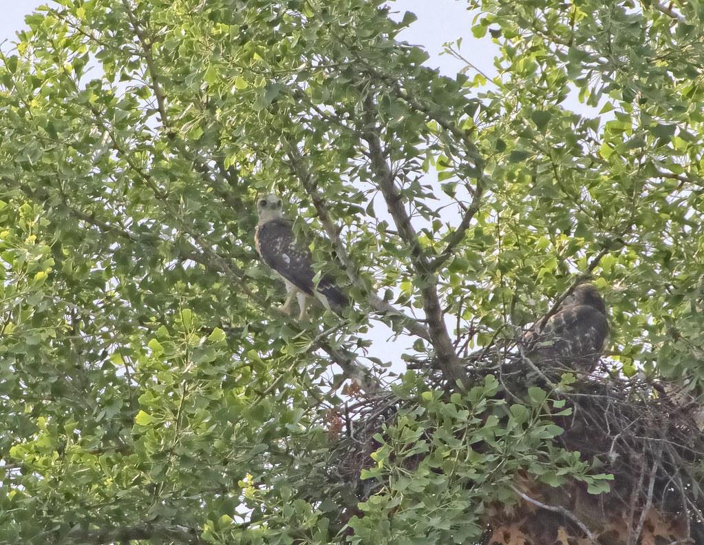Branching hawklets