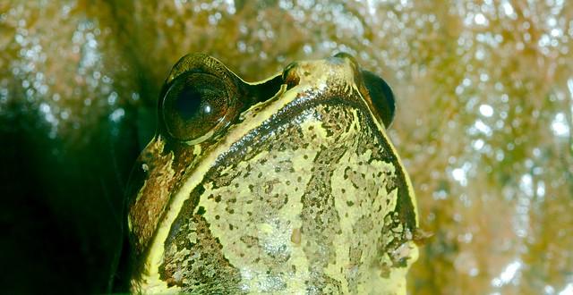 Malayan Horned Frog_2