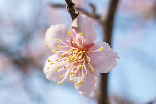 早咲きの梅 2
