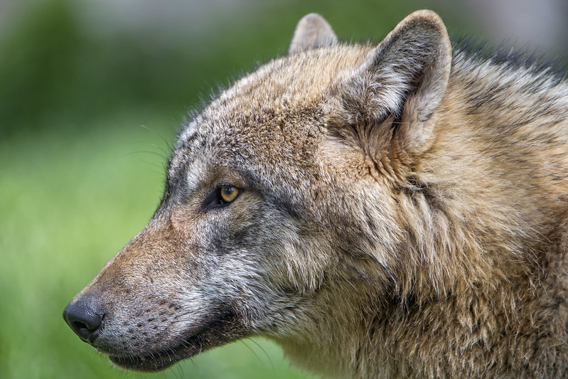Profile of a wolf II