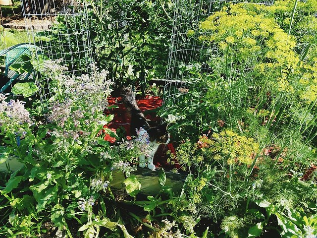 Morning garden walk with neighbor's cat; she likes to hide in between the tomato cages. That volunteer dill is almost my height and smells so good. #garden2016