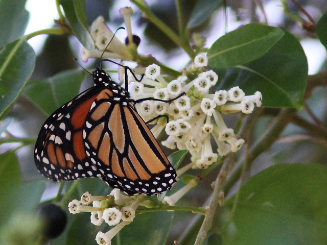 Monarch butterfly 2-20131028