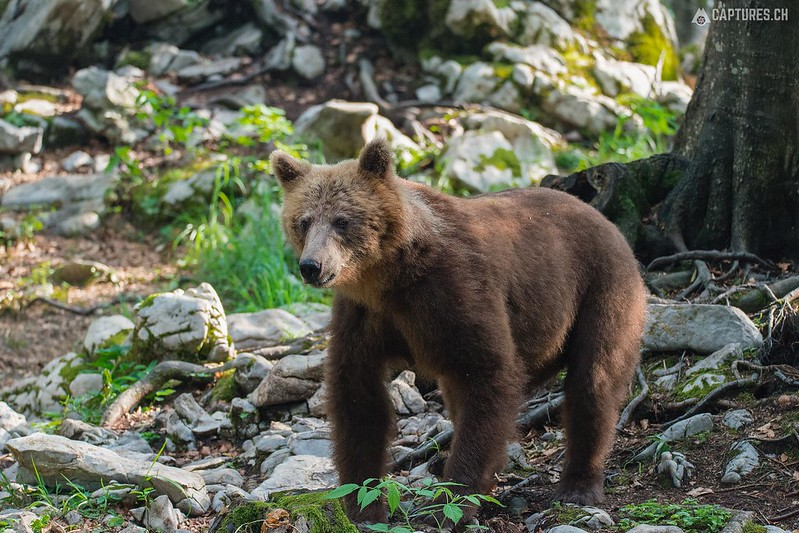 Brown bear 13 - Slovenia
