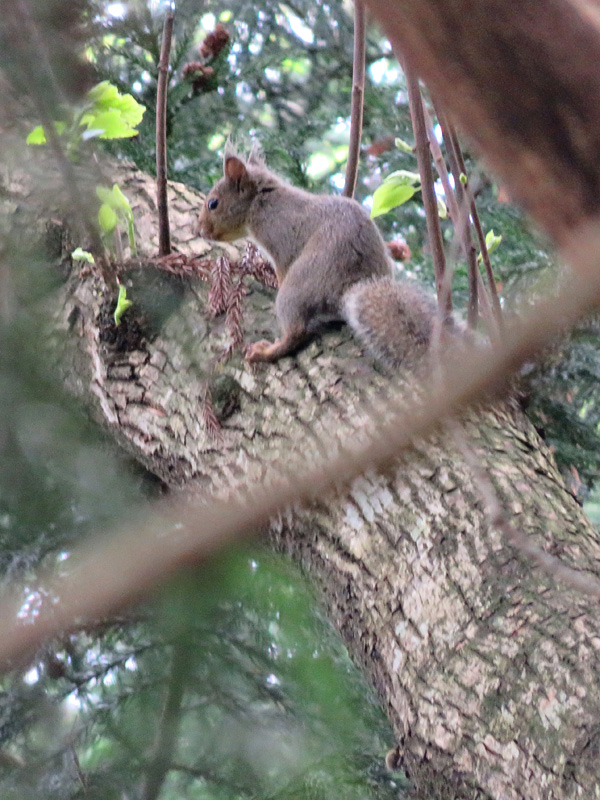 Japanese squirrel