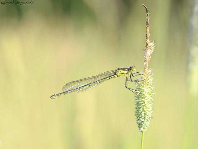 Dragonfly - Zegrzynski Lake - Poland