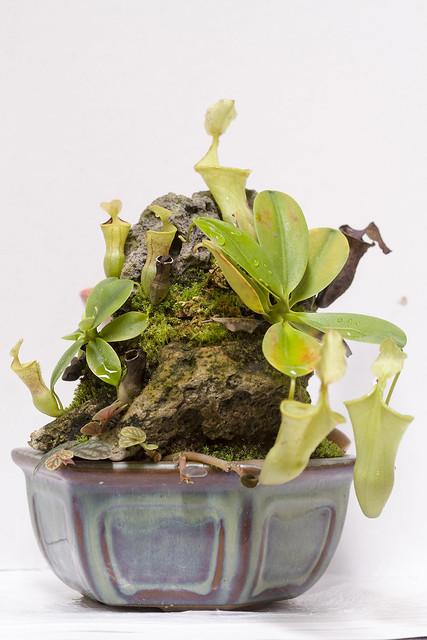 N. campanulata