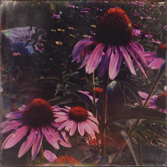 Echinacea at Dawn #flower #flowers #echinacea #purpleconeflower #work #hermanbwellslibrary #wellslibrary #iubloomington #iu #indianauniversity #loadingdock #morning #beautifulday #earlytowork