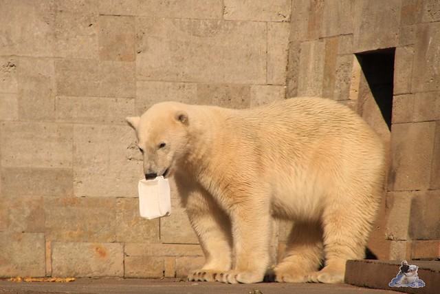 Eisbär Fiete im Zoo Rostock 04.06.2016   0291
