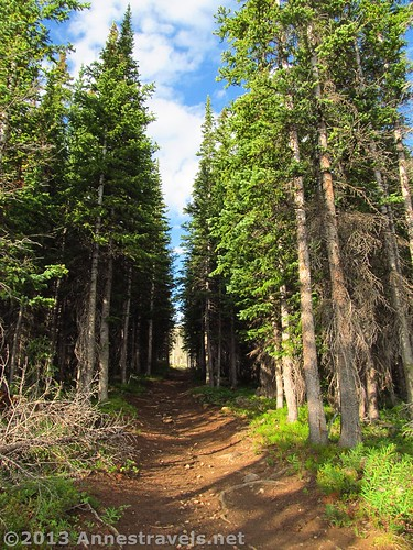 Tree tunnel en route to Amphitheatre Peak in the Flat Tops Wilderness of Colorado