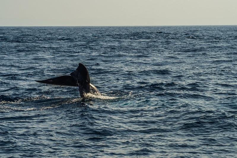 P4253711 Vagamundos 16 Mirissa avistamiento ballenas