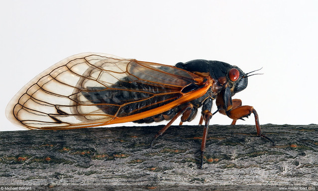Brood V Cicada