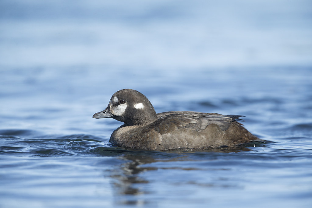 Harlequin Duck   Iceland