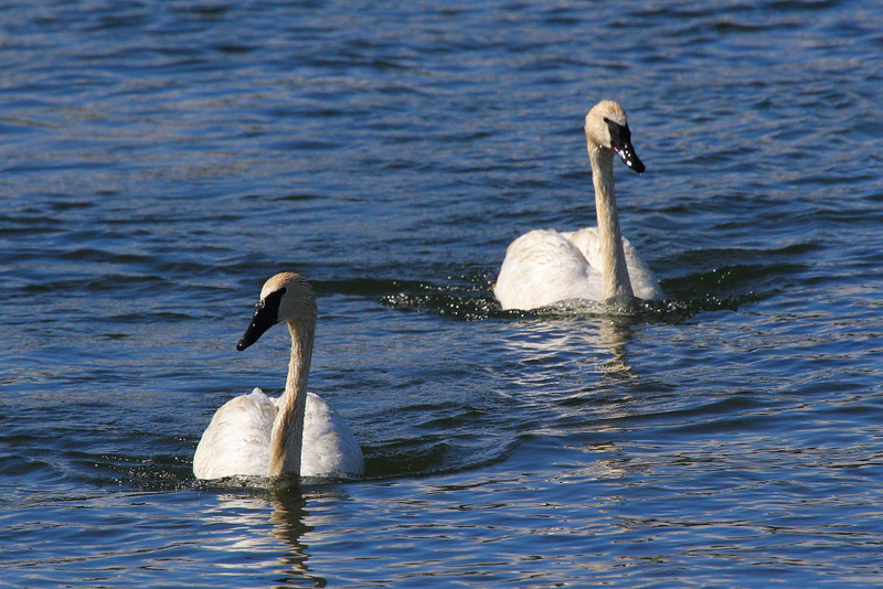 IMG_2402 Trumpeter Swans, Yellowstone National Park