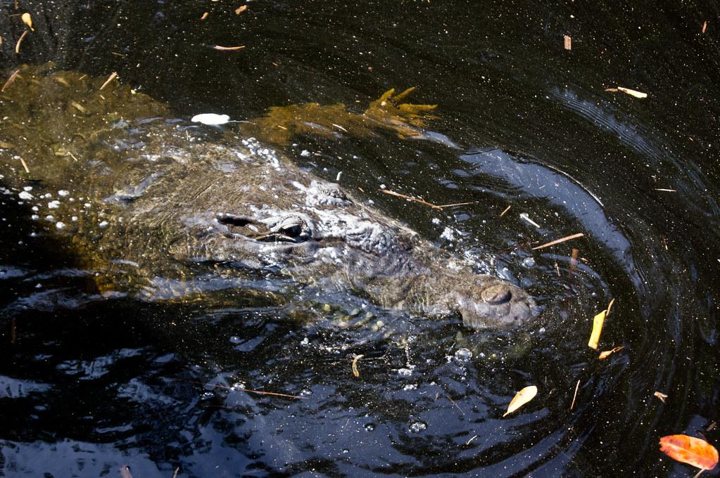 Crocodiles at Black River in Jamaica