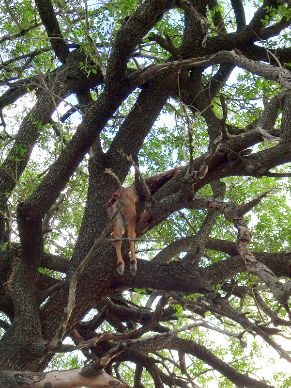 Lion Sands Safari Day 3- Dead Antelpe