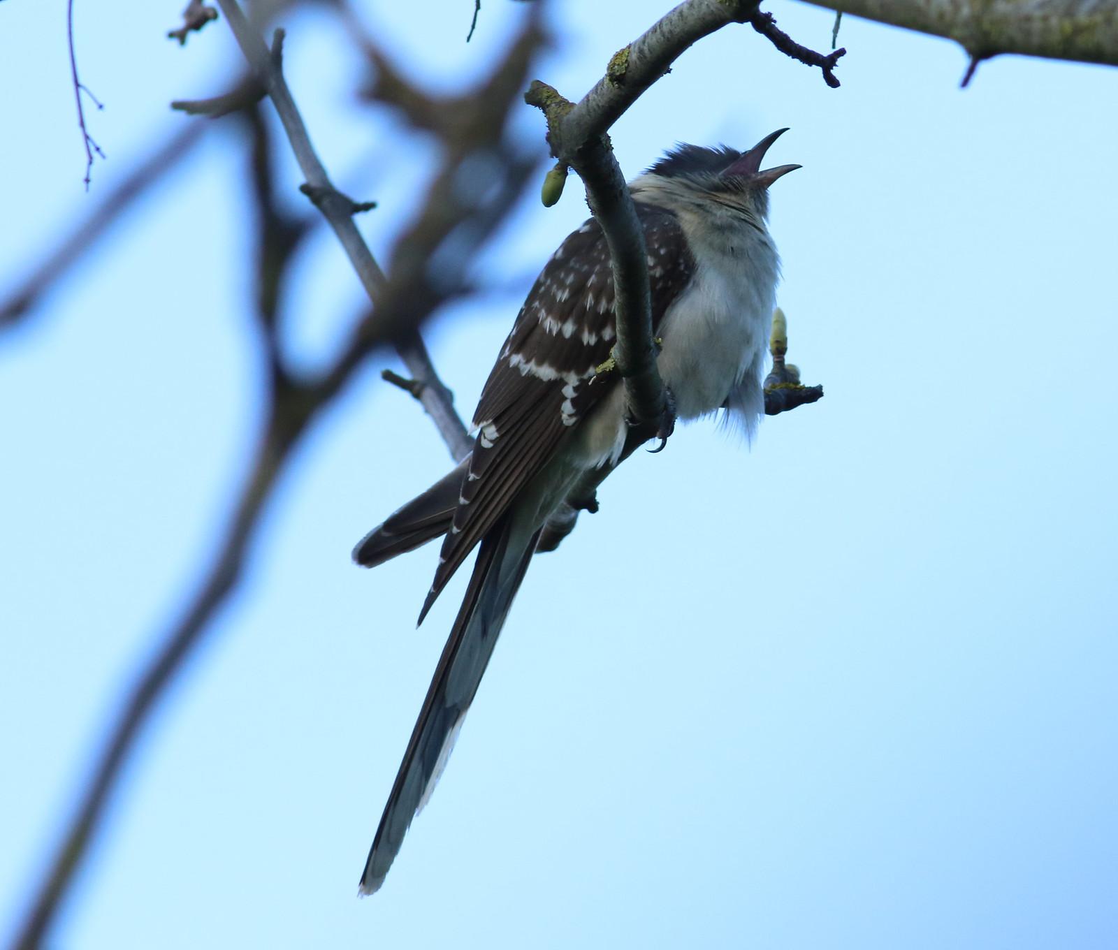 cuckoo&dove0145