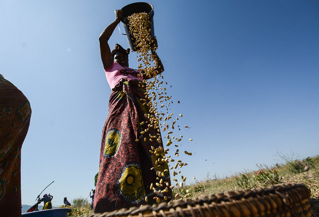 Uyole beans in Tanzania