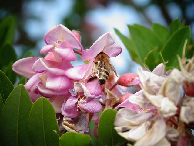 Méh a lilaakácon