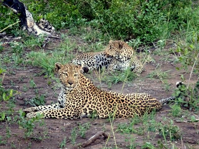 Lion Sands Safari Day 3- Leopards-002