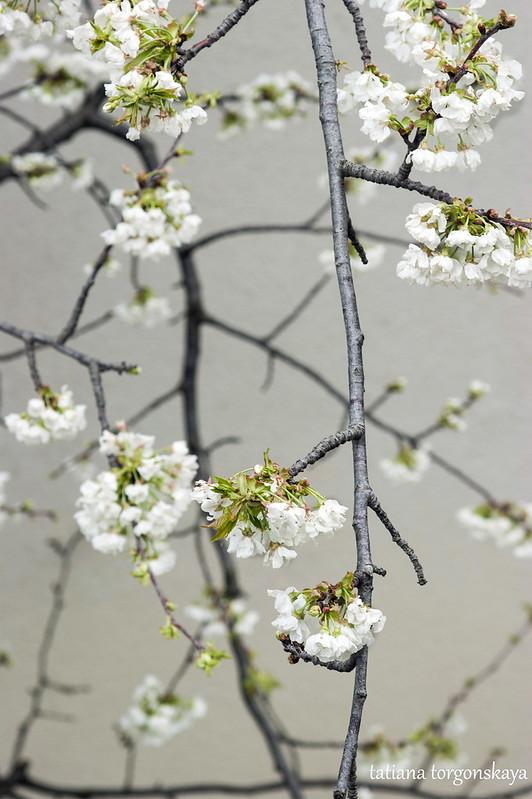 Ветка плодового дерева