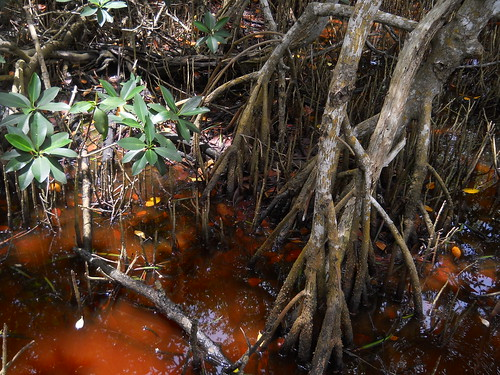 very red with tannin, Everglades National Park