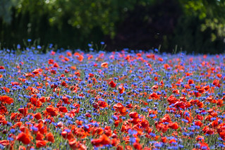 Poppies and cornflowers (Explore 2016-06-09)