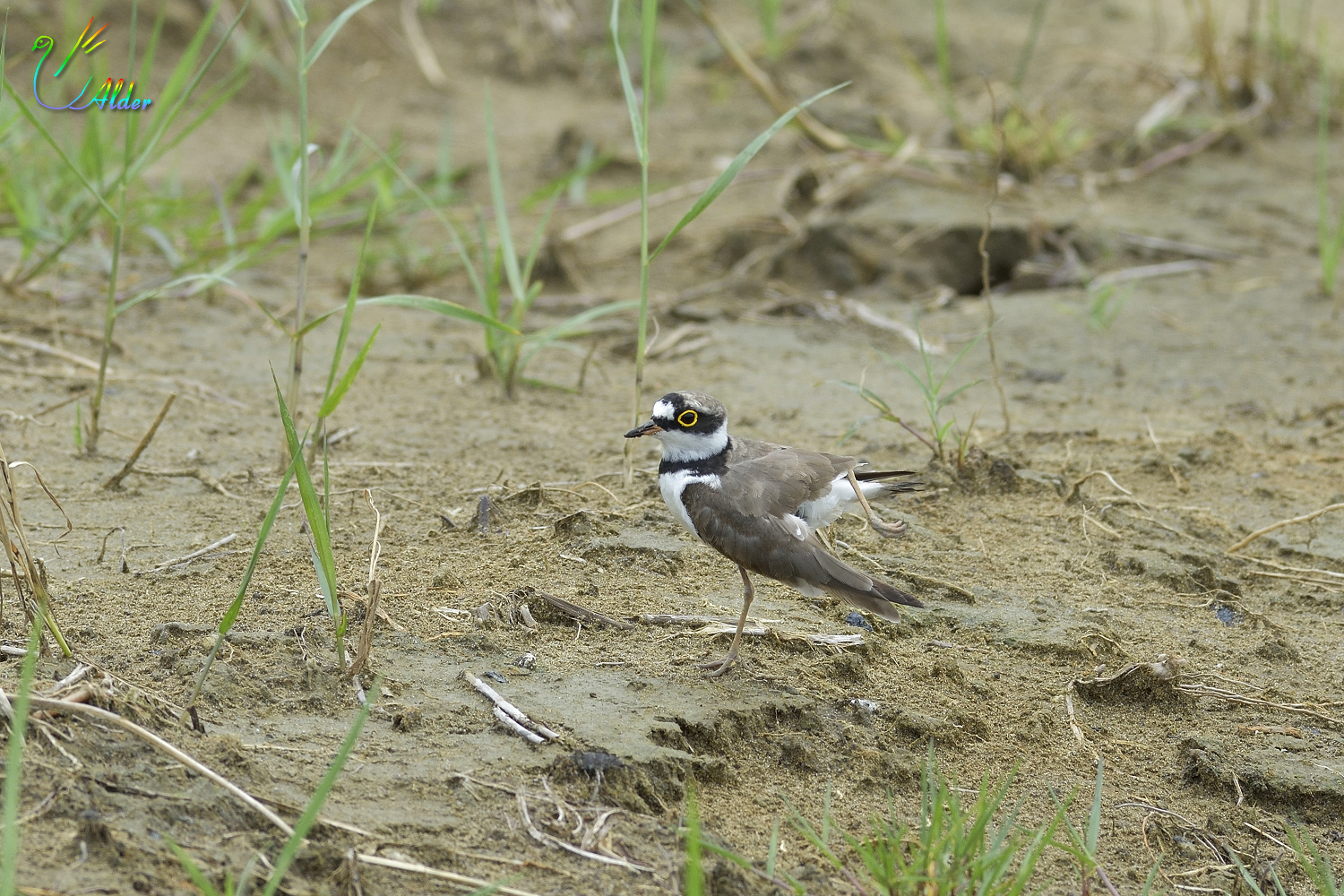 Little_Ringed_Plover_0564