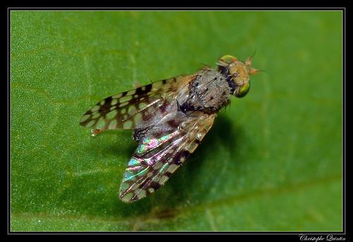 Dioxyna bidentis mâle