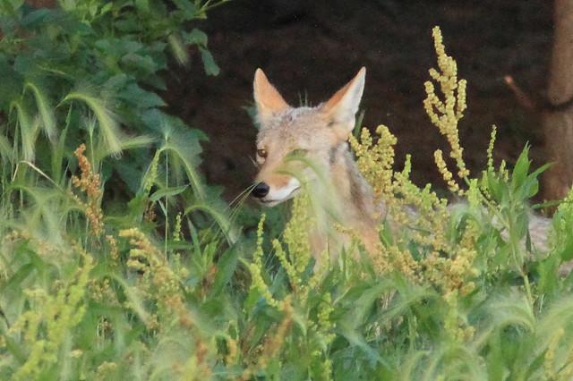 Coyote 2-20160619